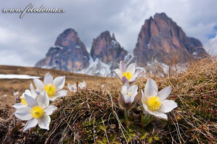 Koniklec jarní na Plan da Cuzin pod Sasso Lungem (Langkofel), Dolomity