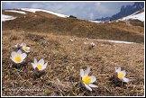 Koniklec jarní na Plan da Cuzin, Dolomity