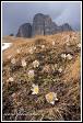 Koniklec jarní (Pulsatilla vernalis, Anemone vernalis) na Pian dai Manc pod Sas de Mesdi (Innerkofler Turm), Sasso Levante (Grohmannspitze) a Cinque Dita (Fünffingerspitze), Dolomity