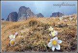 Koniklec jarní (Pulsatilla vernalis, Anemone vernalis) na Pian dai Manc pod Sasso Levante (Grohmannspitze) (3126m), Dolomity