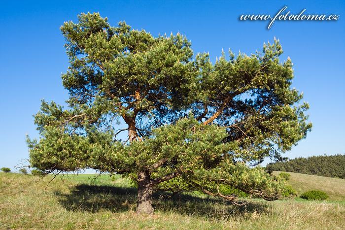 Borovice lesní, Pinus sylvestris, Mohelenská hadcová step