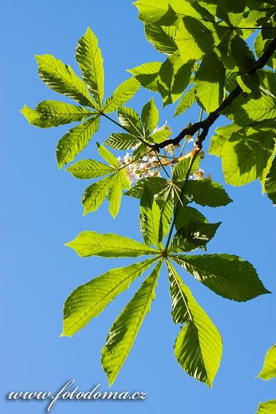 Jírovec maďal, Aesculus hippocastanum