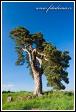 Památná borovice u Korbela, Velká Bíteš