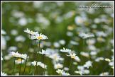 Kopretina bílá (Leucanthemum vulgare, Chrysanthemum leucanthemum, Leucanthemum praecox), Vojšické louky nad Kněždubem, CHKO Bílé Karpaty