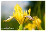 Kosatec různobarvý, Iris variegata