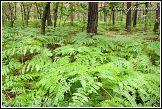 Kapradí v lese u obce Roztoka, Kampinoski národní park, Kampinoski Park Narodowy, Polsko