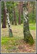 Břízy v borovém lese u obce Roztoka, Kampinoský národní park, Kampinoski Park Narodowy, Polsko