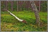 Les u obce Roztoka, Kampinoský národní park, Kampinoski Park Narodowy, Polsko