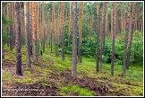 Borový les u obce Roztoka, Kampinoský národní park, Kampinoski Park Narodowy, Polsko