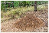 Mraveniště v lese u obce Roztoka, Kampinoský národní park, Kampinoski Park Narodowy, Polsko
