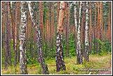 Břízy rostoucí v borovém lese u obce Roztoka, Kampinoský národní park, Kampinoski Park Narodowy, Polsko