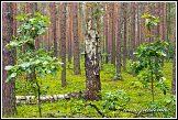 Mrtvá bříza a mladé duby v borovém lese u obce Roztoka, Kampinoský národní park, Kampinoski Park Narodowy, Polsko