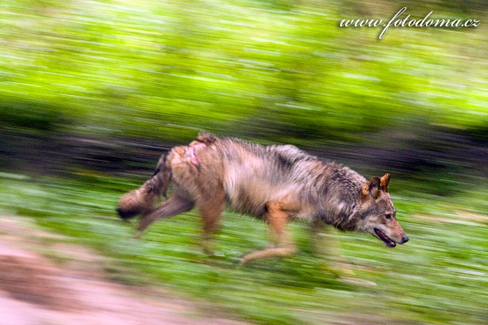 Vlk ocecný eurasijský