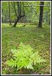 Kapradí, Bělověžský prales, Bělověžský národní park, Białowieski Park Narodowy, Polsko