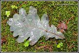 List dubu, Bělověžský prales, Bělověžský národní park, Białowieski Park Narodowy, Polsko
