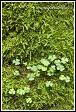 Šťavel kyselý, Oxalis acetosella, Bělověžský prales, Bělověžský národní park, Białowieski Park Narodowy, Polsko