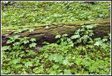 Mladé javory, Bělověžský prales, Bělověžský národní park, Białowieski Park Narodowy, Polsko