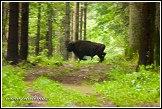 Zubr evrpský, Bison bonasus, Bělověžský prales, Bělověžský národní park, Białowieski Park Narodowy, Polsko