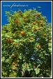Jeřáb ptačí (Sorbus aucuparia, Pyrus aucuparia), vesnice Bokiny, Narwianski národní park, Narwianski Park Narodowy, Polsko