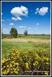 Vratič obecný (Tanacetum vulgare, Chrysanthemum vulgare, Tanacetum boreale) u vesnice Bokiny, Narwianski národní park, Narwianski Park Narodowy, Polsko