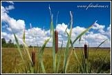 Orobinec širokolistý, Typha latifolia, Grobla Honczarowska, bažiny Bagno Lawki, Biebrzanski národní park, Biebrzanski Park Narodowy, Polsko