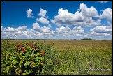 Kalina obecná, Viburnum opulus, Grobla Honczarowska, bažiny Bagno Lawki, Biebrzanski národní park, Biebrzanski Park Narodowy, Polsko