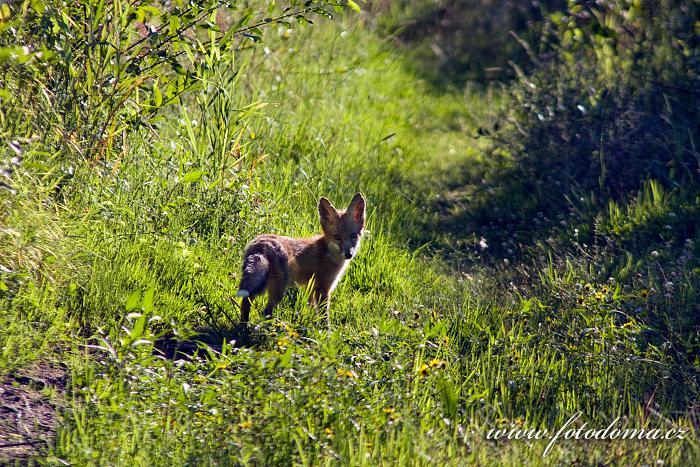 Liška obecná, Vulpes vulpes, Bažiny Bagno Podlaskie, Biebrzanski národní park, Biebrzanski Park Narodowy, Polsko