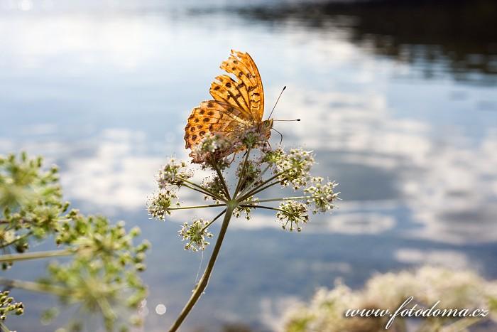 Perleťovec stříbropásek, Argynnis paphia, Zatoka Slupianska, jezero Wigry, Wigierski Park Narodowy, Wigierski národní park, Polsko