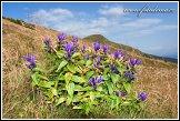 Hořec tolitovitý, Gentiana asclepiadea, v sedle Bublen, Národní park Malá Fatra, Slovensko