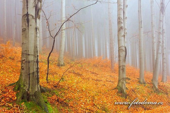 Podzimní bukový les, Zlaté Hory, CHKO Jeseníky, okres Jeseník