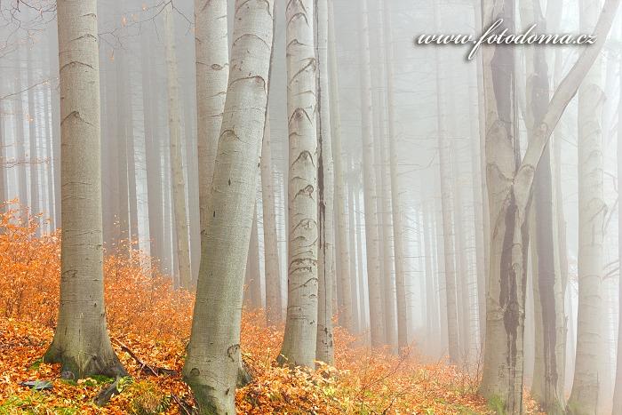 Podzimní bukový les, Zlaté Hory
