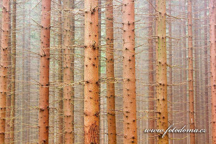 Smrkový les, Rejvíz, CHKO Jeseníky, okres Jeseník