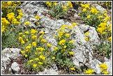 Tařice skalní (Aurinia saxatilis, Alyssum saxatile)