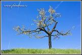 Třešeň obecná, Prunus avium