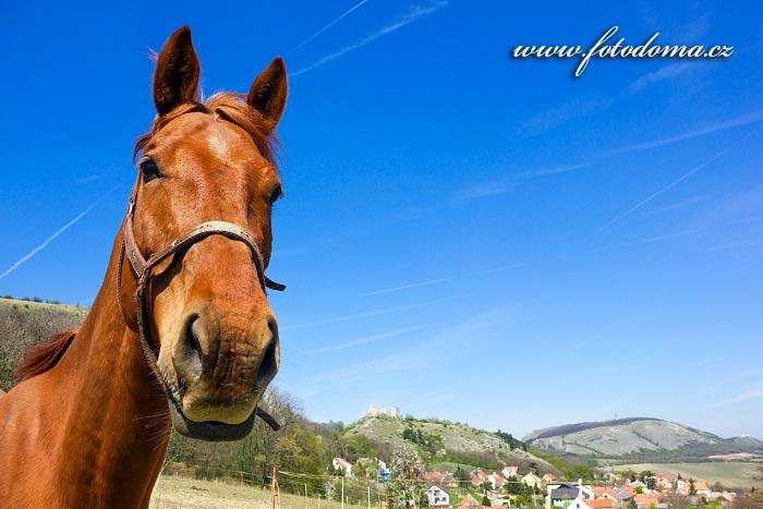 Kůň u obce Klentnice, CHKO Pálava, okres Břeclav, Jihomoravský kraj, Česká republika