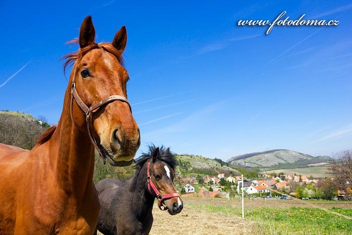 Koně u obce Klentnice, CHKO Pálava, okres Břeclav, Jihomoravský kraj, Česká republika