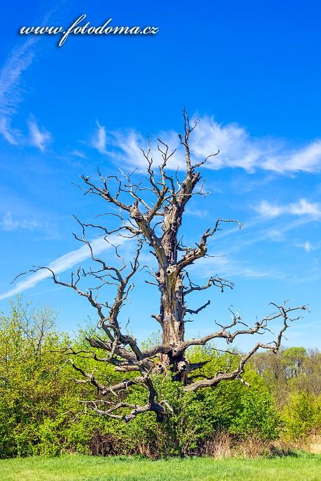 Starý dub, Přírodní park Niva Dyje, okres Břeclav, Jihomoravský kraj, Česká republika