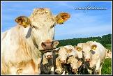 Tur domácí (kráva domácí)